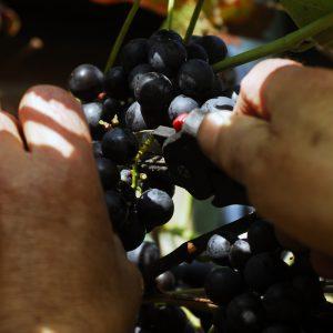 Druiven plukken - wijn maken