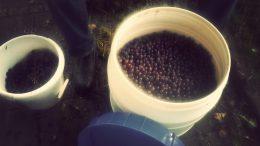 Witte wijn maken blauwe druiven